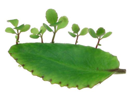 http://aquiya.skr.jp/zukan/Bryophyllum_pinnatum01.jpg