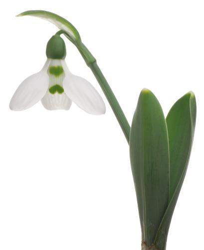 言葉 スノー ドロップ 花 スノードロップの花言葉!贈る前に知るべき5つの意味