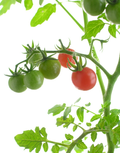 トマトの画像 p1_28